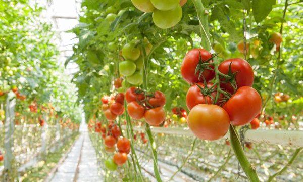 12 astuces pour bien faire pousser les tomates cet été