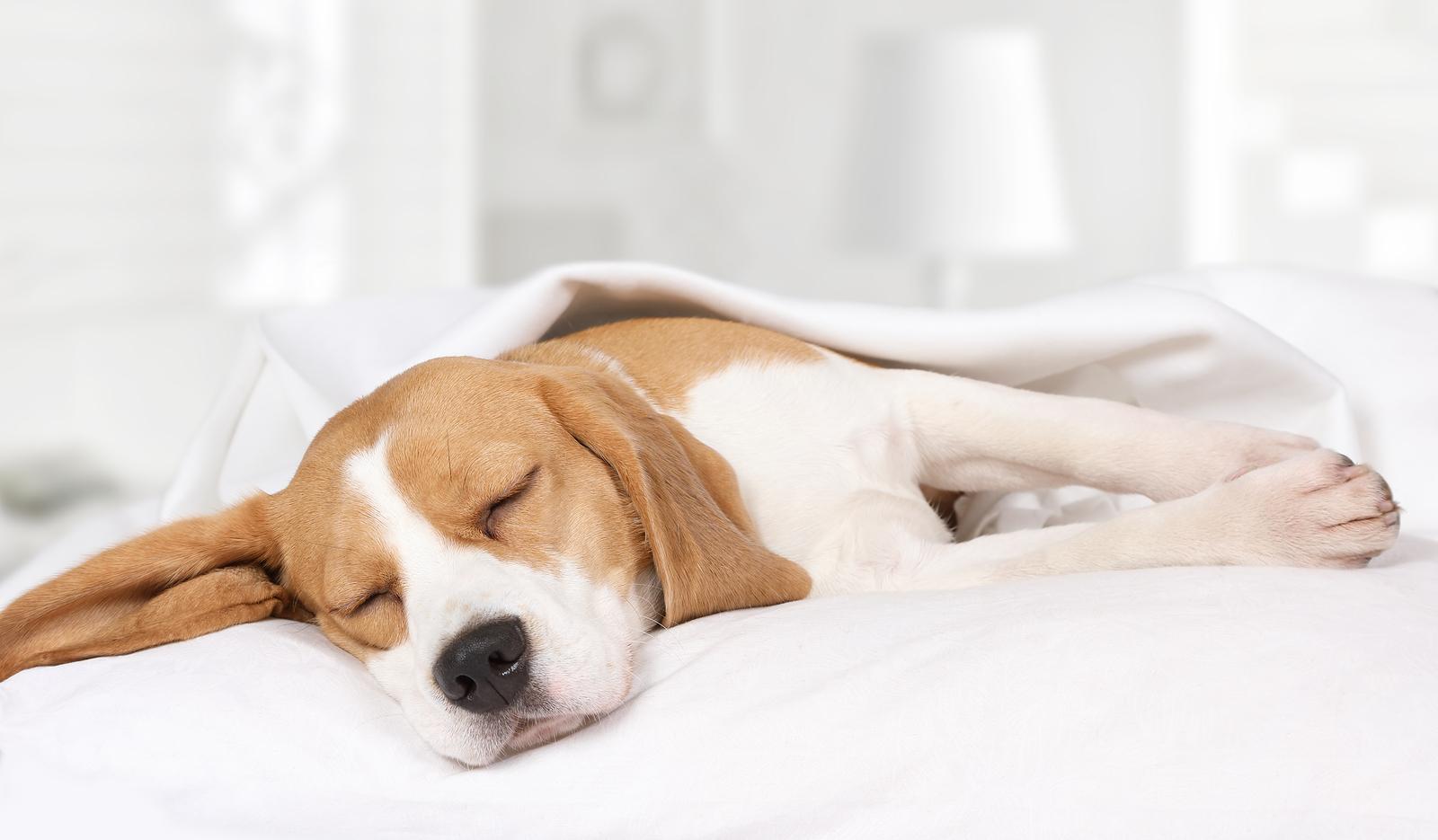 chien-comportement-lit-dormir-maison