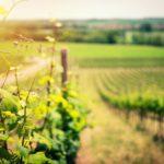 Sur la route des vendanges au Québec: 8 vignobles où faire la récolte