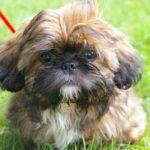 Best and Worst Dog Breeds For Seniors