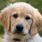 The Quietest Dog Breeds
